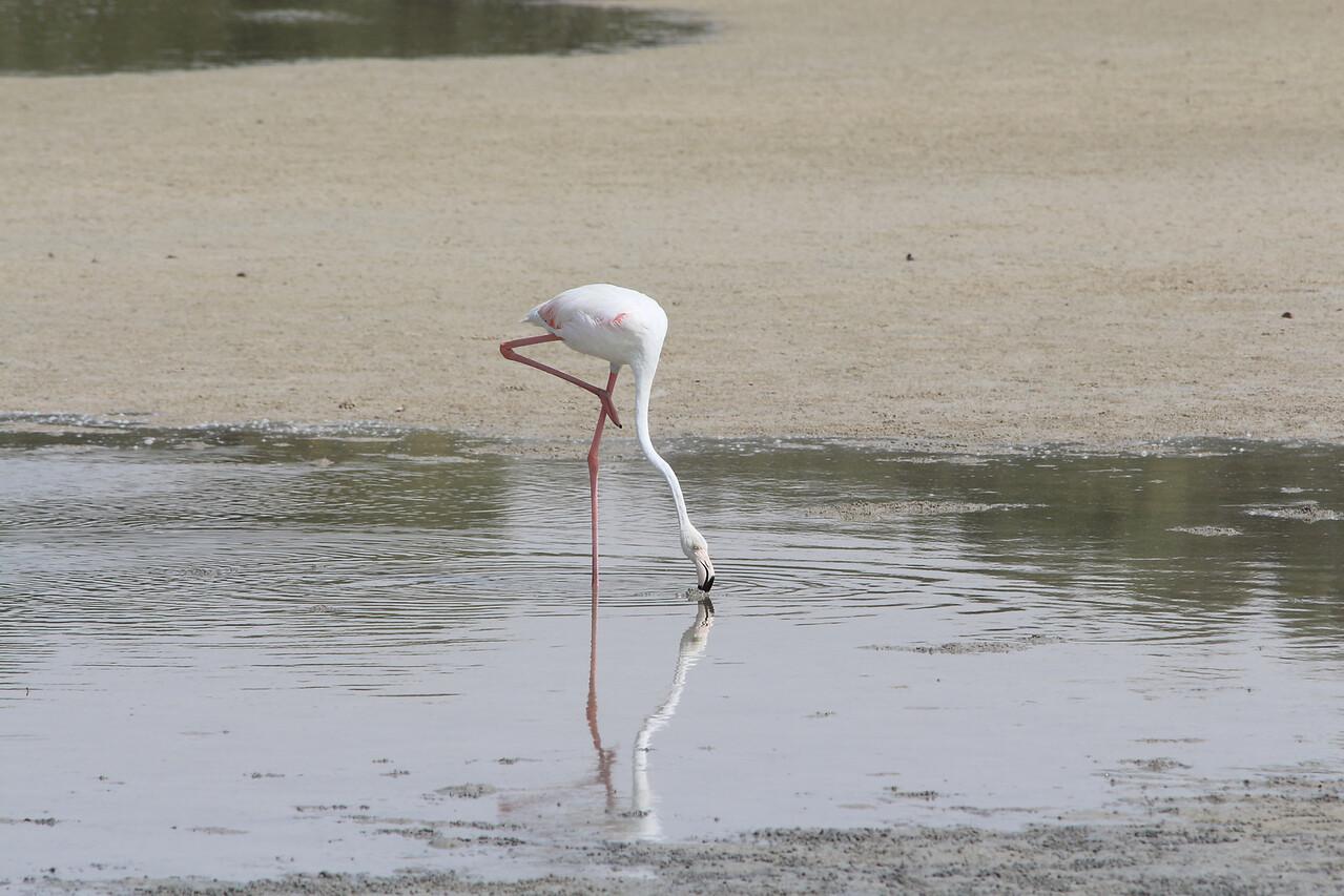 IMG_8056_Flamingoes_108