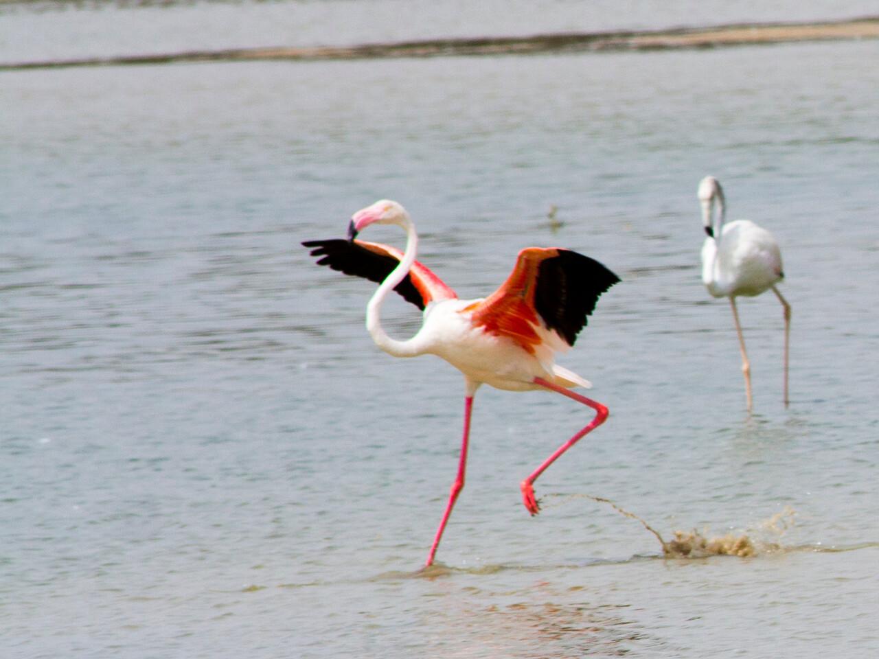 IMG_8045_Flamingoes_097 PS_1