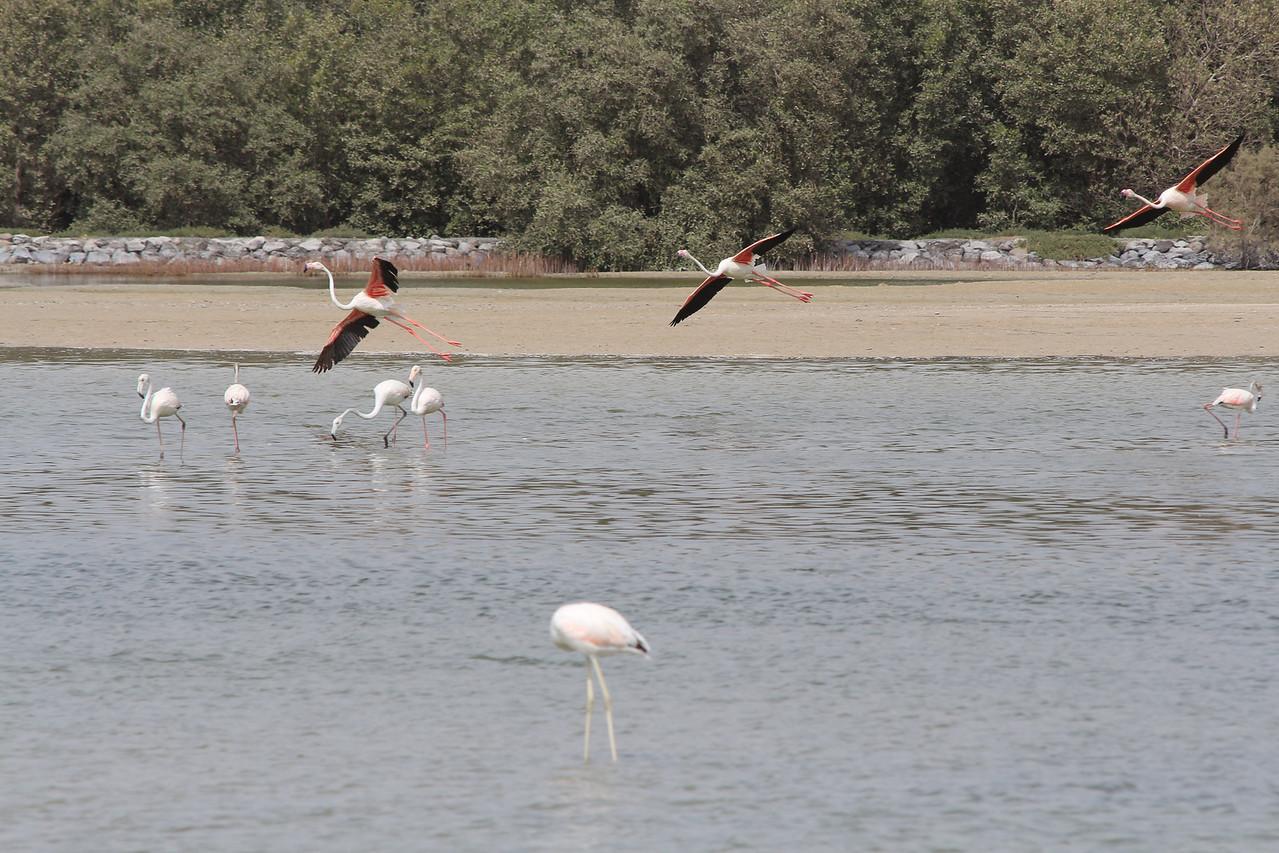 IMG_8069_Flamingoes_121