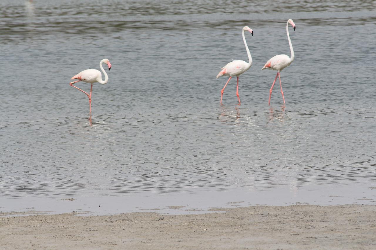 IMG_8008_Flamingoes_060
