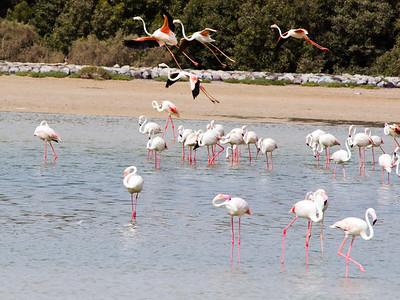 IMG_8086_Flamingoes_138 PS