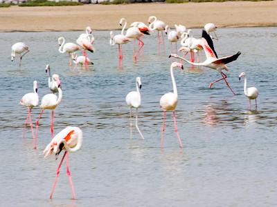 IMG_8093_Flamingoes_145 PS