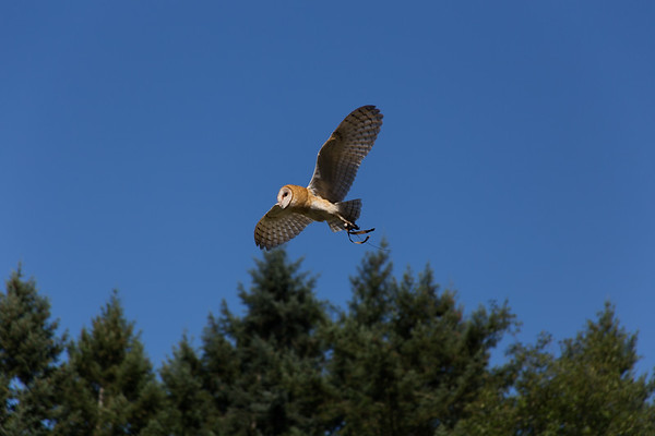 The Raptors - Cowichan Valley, BC, Canada