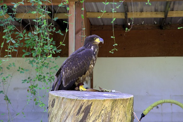 The Pacific Northwest Raptors - Cowichan Valley, BC, Canada