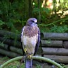 The Pacific Northwest Raptors – Cowichan Valley, BC, Canada