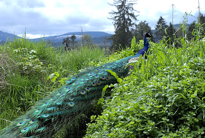 "Peacock - Vancouver Island, BC, Canada Visit our blog ""Percy The Posing Peacock"" for the story behind the photos."