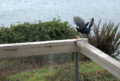 Steller's Jay - Vancouver Island, BC, Canada