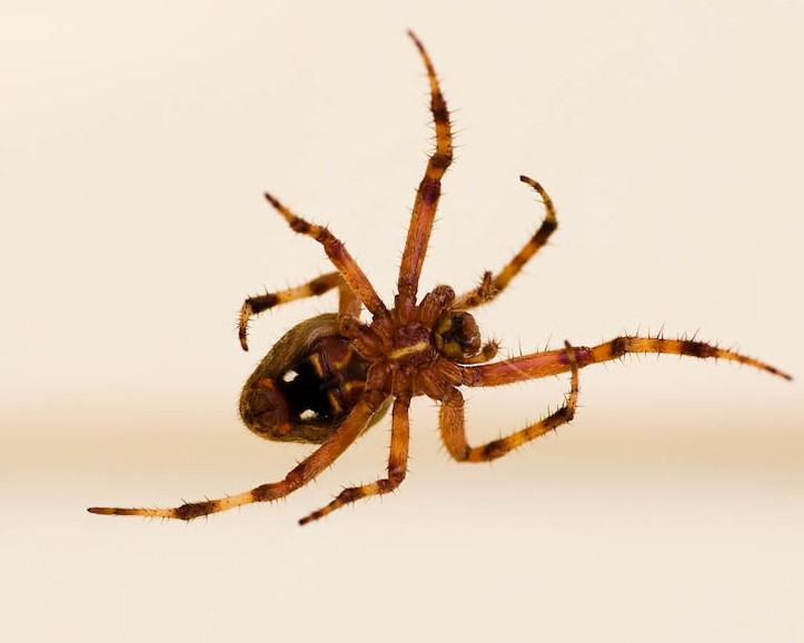 Barn Spider/House Spider female in her web -