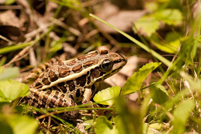 Pickerel Frog -