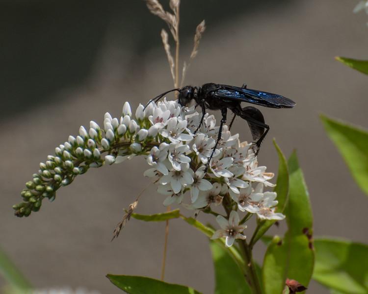 Blue Black Spider Wasp