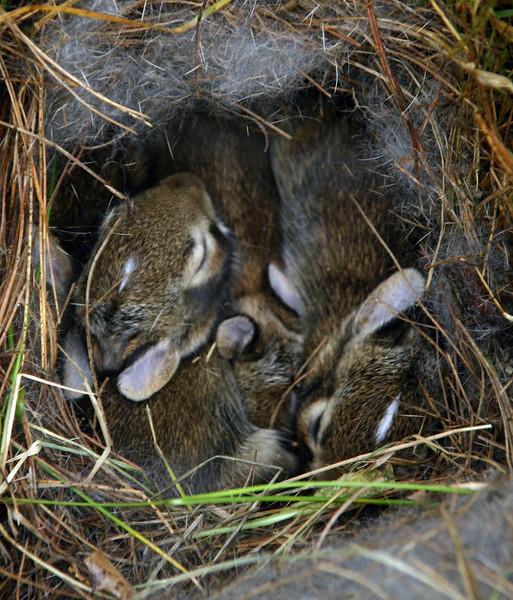 Wild Baby Bunnies Nesting