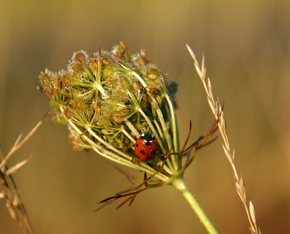 Spotted Lady Bug