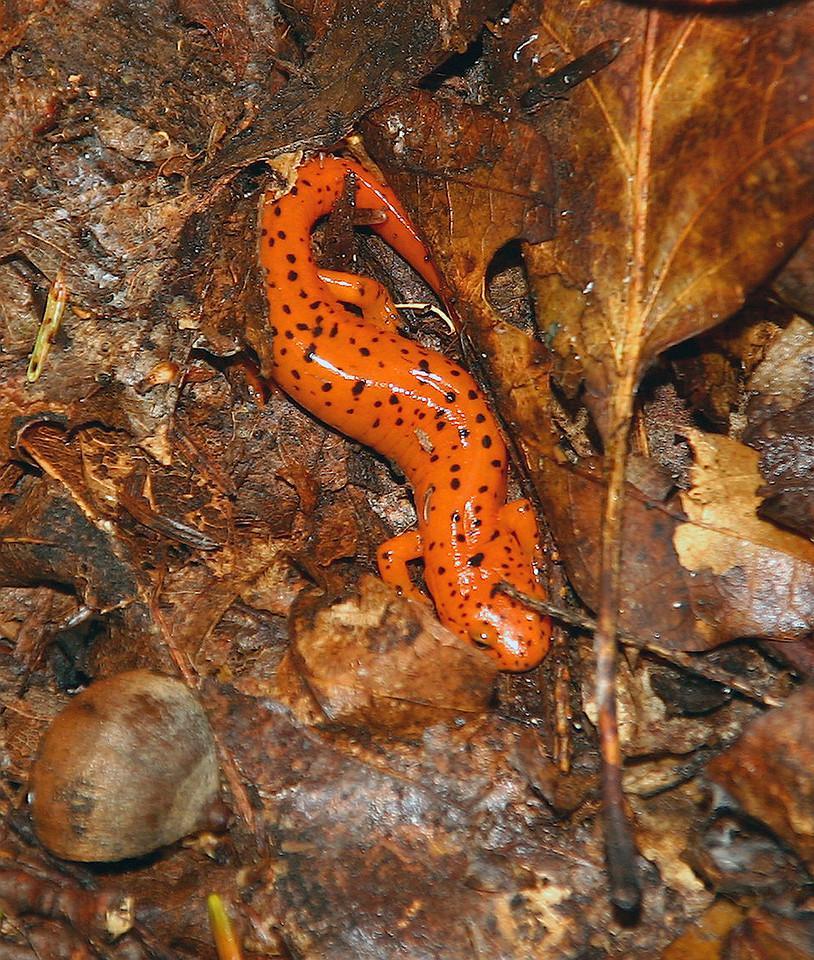 Newt Salamander
