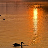 Title: Dueling Reflections<br /> Date: September 2009<br /> A duck in the Reflecting Pool in DC, at early morning.