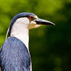Title: Look Into My Eyes<br /> Date: May 2009<br /> A Night Heron along the Anacostia River.