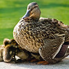 Title: Protection<br /> Date: June 2008<br /> A mother duck and her ducklings in Pershing Park in DC.