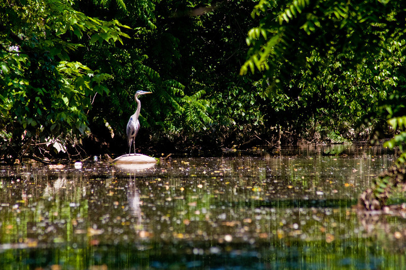 Title: In the Thick of It<br /> Date: June 2009<br /> A Great Blue Heron along one of the off-shoot creeks along the Anacostia River.