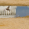 Title: Not in the Reflection<br /> Date: June 2009<br /> A European Sterling flies in front of a reflection of the US Capitol Building.