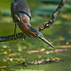 Title: Concentration<br /> Date: June 2008<br /> A Green Heron in Kenilworth Aquatic Gardens.