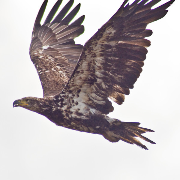 Title: Immature Bald Eagle<br /> Date: June 2009<br /> An immature Bald Eagle along the Anacostia River.<br /> <br /> Note: I am unsure of the quality of this image.  It was a heavy crop.  As well, it was shot very dark, so there may be a great deal of noise in the print.<br /> <br /> Print Size Suggestion: The aspect ratio is 1x1 (ie: it's a square).  Order a print size of similar ratio to avoid cropping.