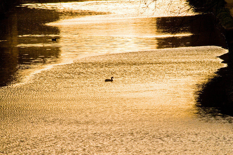 Title: Duck in the Current<br /> Date: April 2009<br /> A duck in the C&O Canal in Georgetown.