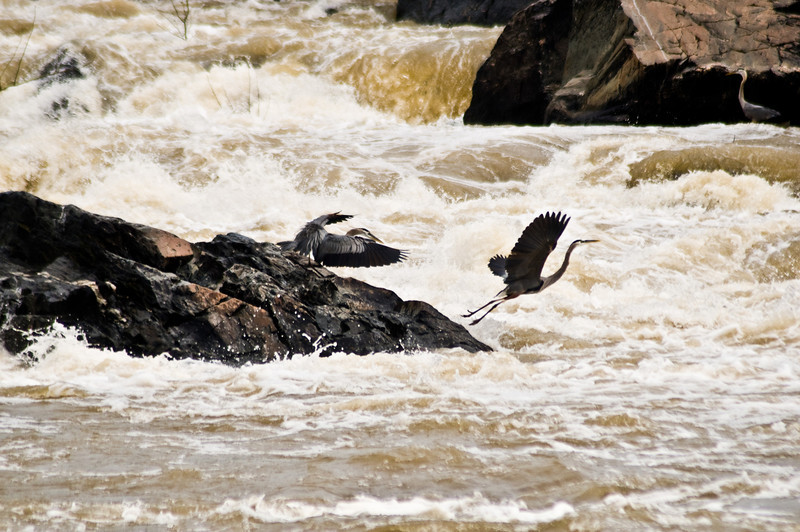 Title: Fight and Flight<br /> Date: May 2011<br /> A pair of Great Blue Herons fight among the rapids at Great Falls on the Potomac River.