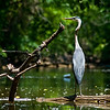 Title: Over the Shoulder<br /> Date: June 2009<br /> A Great Blue Heron along one of the off-shoot creeks along the Anacostia River.