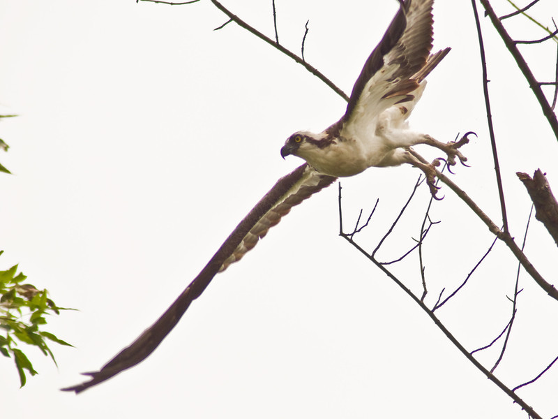 Title: Making His Exit<br /> Date: July 2009<br /> An Osprey takes flight along the Anacostia River.