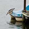 Title: No Distractions<br /> Date: June 2009<br /> A Night Heron watching a fish from a paddle boat on the Tidal Basin in DC.