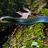 Title: Blue Racer Snake<br /> Date: May 2009<br /> A Blue Racer Snake in Mason Neck National Wildlife Refuge.