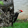 Title: Woodpecker<br /> Date: May 2008<br /> A Red Crested Woodpecker in Washington DC.