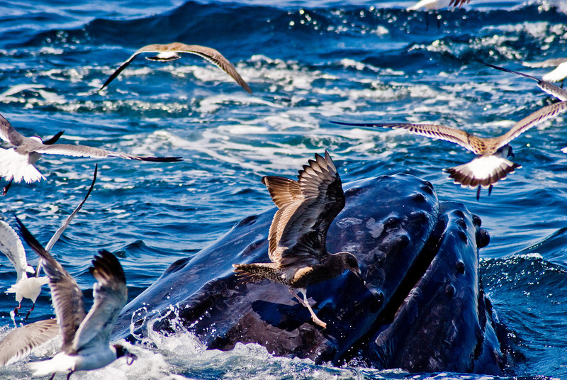 Title: One Misstep...<br /> Date: August 2008<br /> Just off of Cape Cod MA, a seagull, who had been eating stray fish out of the mouth of the Humpback Whale, nearly falls into the water when the whale heads back under water.
