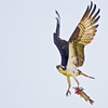 Title: Eat and Fly<br /> Date: June 2009<br /> An Osprey catches a fish along the Anacostia River.