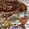 Title: Hawkeye<br /> Date: February 2009<br /> A Red-tailed Hawk, which landed in a dry fountain in Pershing Park in downtown DC.