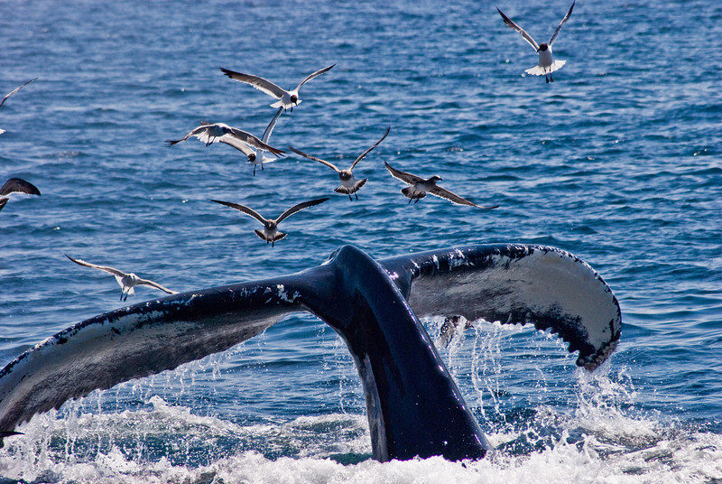 Title: Whale of a Tale<br /> Date: August 2008<br /> A Humpback Whale off Cape Cod MA.