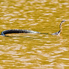 Title: Float<br /> Date: May 2009<br /> A Black Rat Snake swimming across the Anacostia River.
