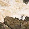 Title: Against the Raging Waters<br /> Date: May 2011<br /> A Great Blue Heron on one of the small rock islands in the Great Falls along the Potomac River.