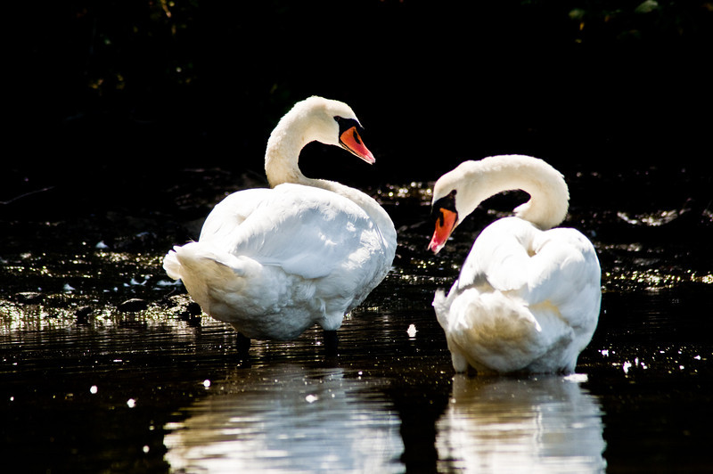 Title: Mute Swans<br /> Date: August 2009<br /> A pair of Mute Swans, taken along the Bass River on the Cape.