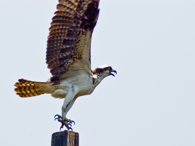 Title: Osprey<br /> Date: July 2008<br /> An Osprey taking flight along the Anacostia River.