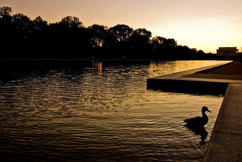 Title: Sitting Duck<br /> Date: October 2008<br /> At sunset, in the Reflecting Pool with the Lincoln Memorial in the background.