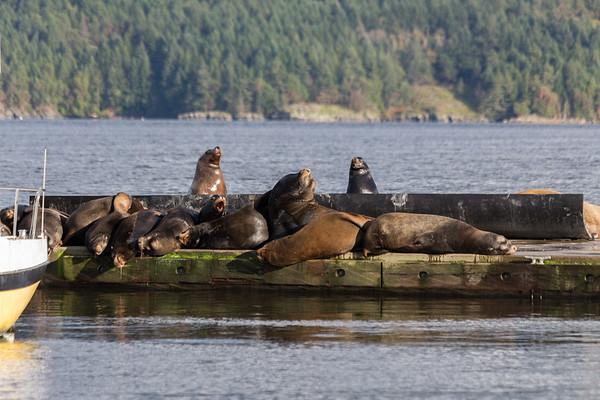 California Sea Lions - Cowichan Bay, Vancouver Island, BC, Canada