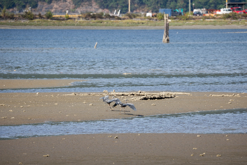 Great Blue Herons - Cowichan Bay, Vancouver Island, British Columbia, Canada