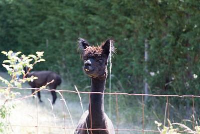 Alpaca - Vancouver Island, British Columbia, Canada