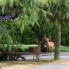 Buck Deer - Queenswood, Victoria, Vancouver Island, BC, Canada