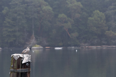 Gull On A Pier - Cowichan Valley, Vancouver Island, British Columbia, Canada