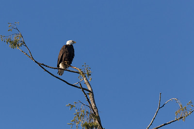 Mature Bald Eagle - Cowichan Valley, Vancouver Island, British Columbia, Canada
