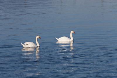 Swans - Cowichan Bay, Vancouver Island, British Columbia, Canada