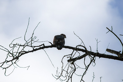 Bald Eagles - Cowichan Valley, Vancouver Island, British Columbia, Canada