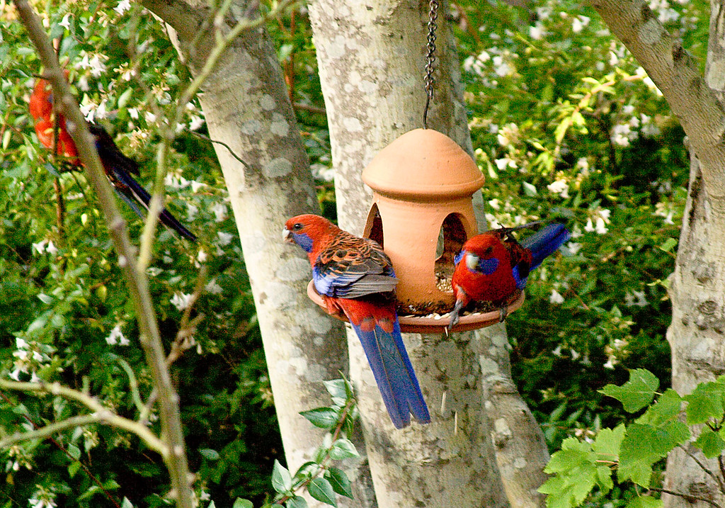 Rosellas, Blue Mountains, Australia, January 2006