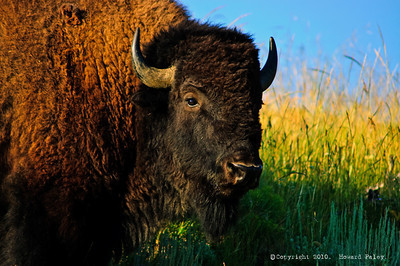 """Bison bison,"" Antelope Flat, Grand Teton National Park"